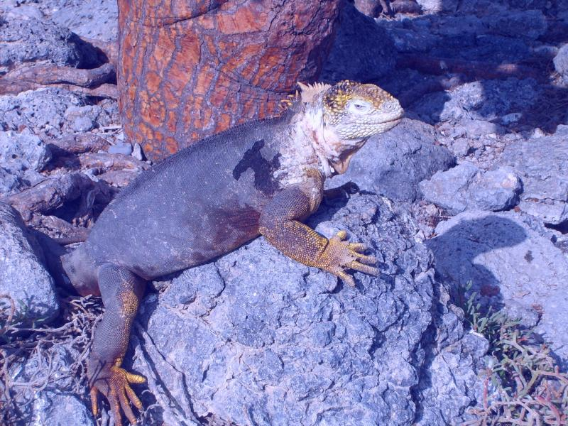 Les iguanes terrestres somt plus grands