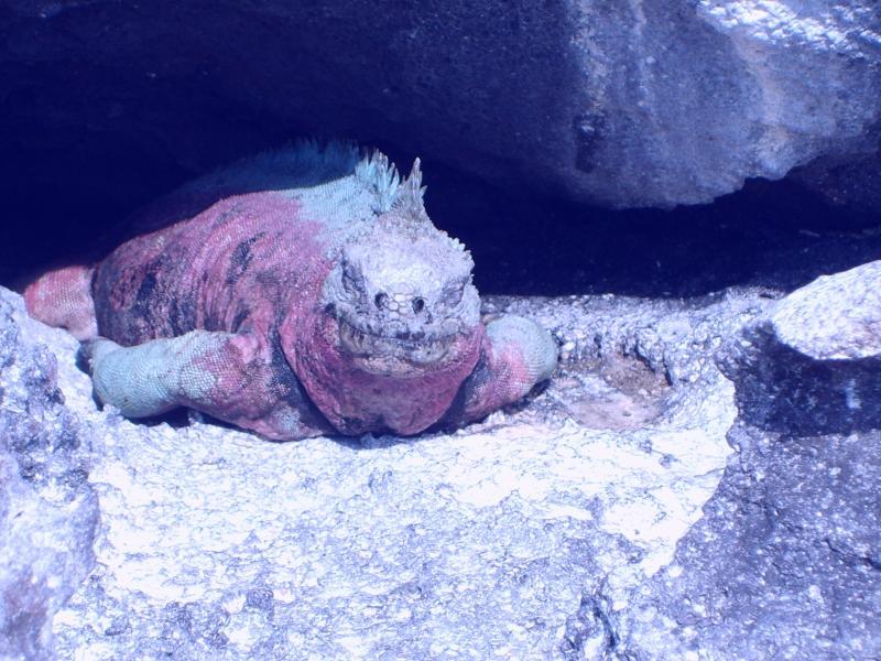 Iguane terrestre coloré