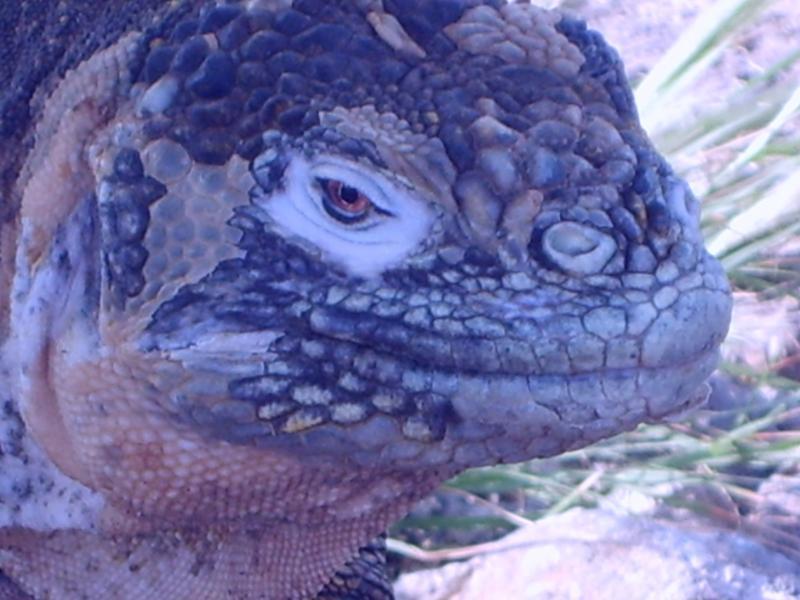 Iguane qui n'est pas craintif