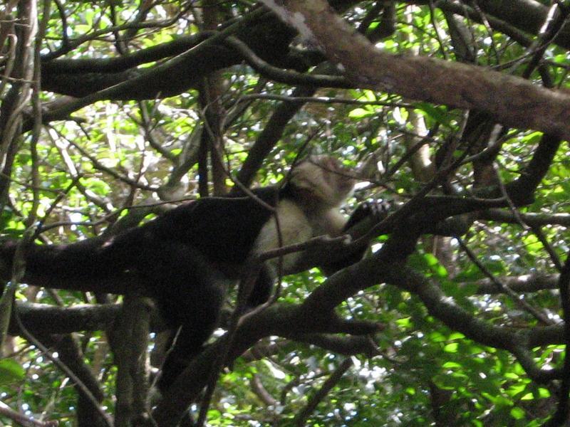 Singe capucin à face blanche