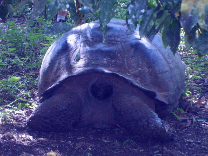 Vieille tortue géante