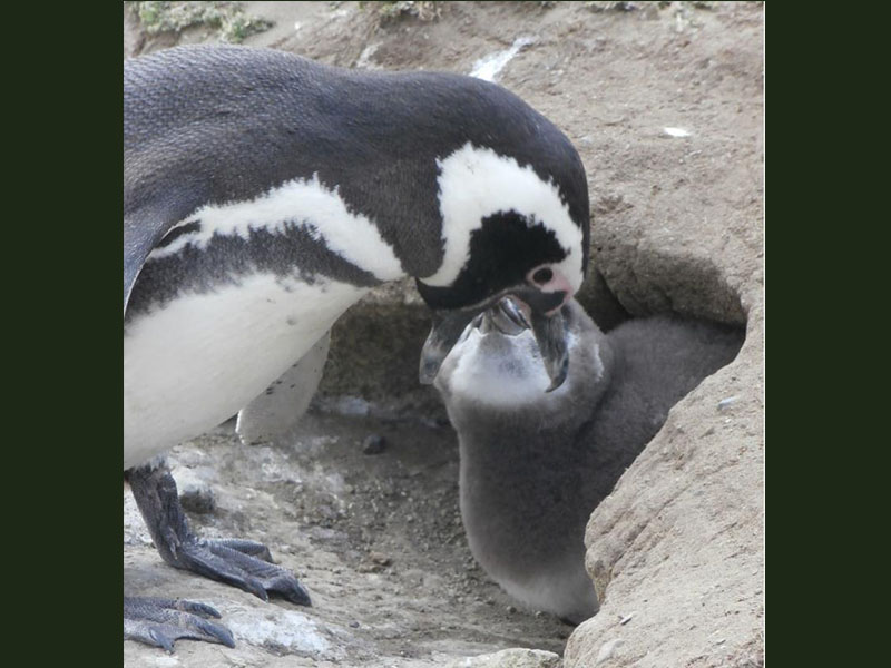 Manchot qui nourrit son petit