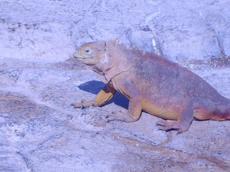 Iguane terrestre