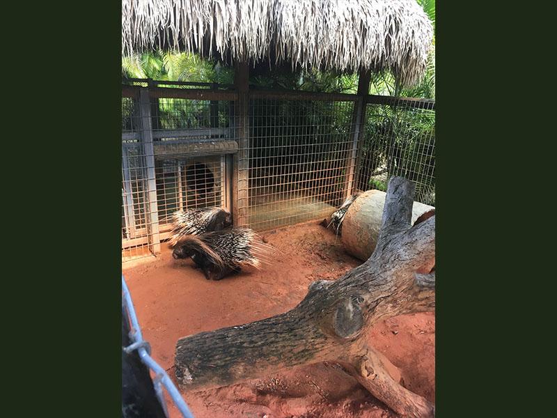Porcs-épics africains
