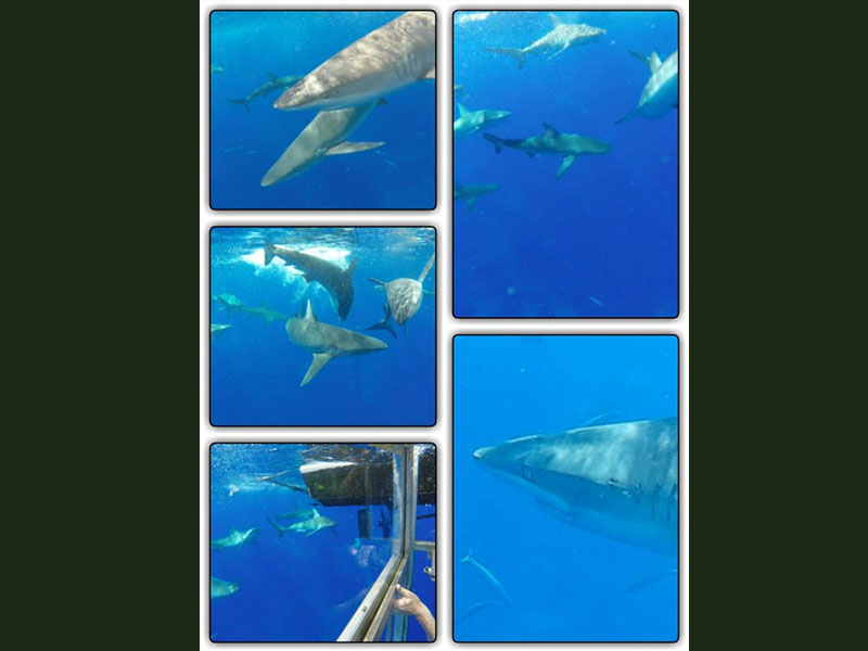 Requins des Galapagos