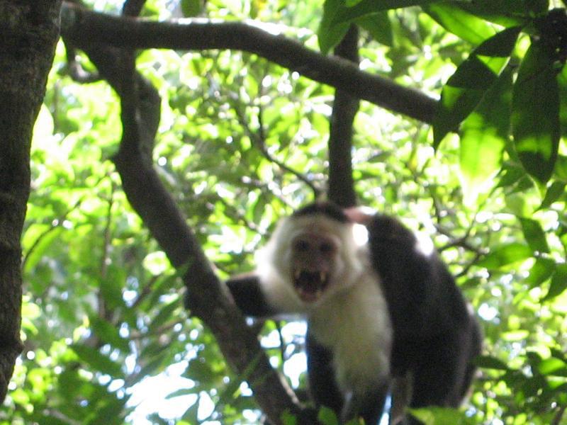 Ce singe capucin veut que l'on parte